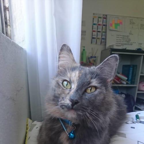 Meowly Cyrus  - Domestic Medium Hair Cat
