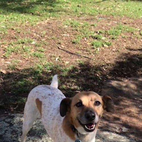 Quinn - Jack Russell Terrier x Kelpie Dog