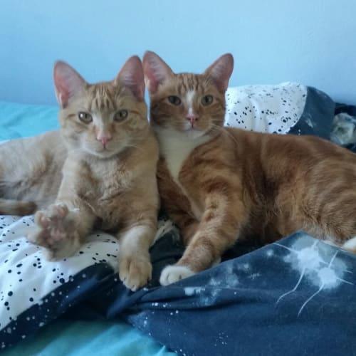 Ronald & Kurt - Domestic Short Hair Cat