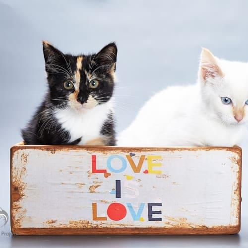 Archie & Shelly - Ragdoll x Domestic Medium Hair Cat