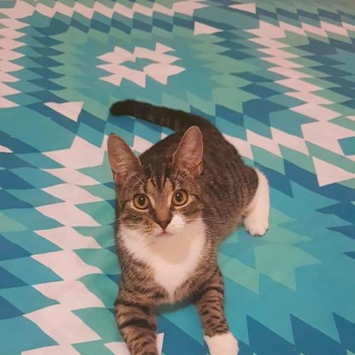 Pebbles - Bengal Cat