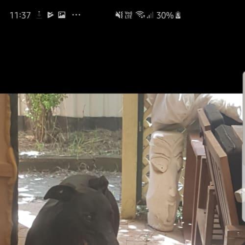 Harry - Greyhound Dog