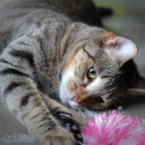 Saber - Domestic Short Hair Cat