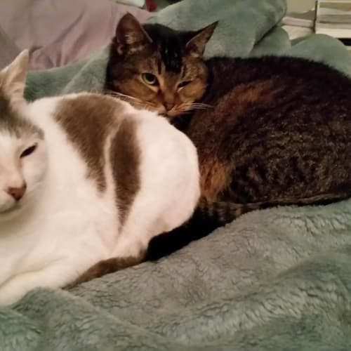 Molly and Lady - Special Needs Bonded Pair - Domestic Short Hair Cat