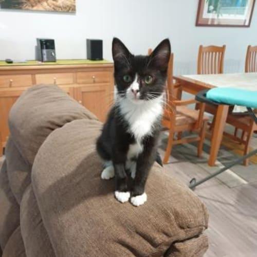 Noah - Domestic Short Hair Cat
