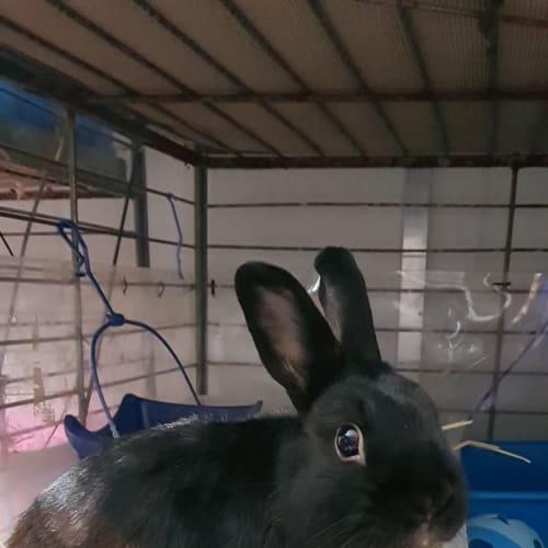 Cadbury - Domestic Rabbit