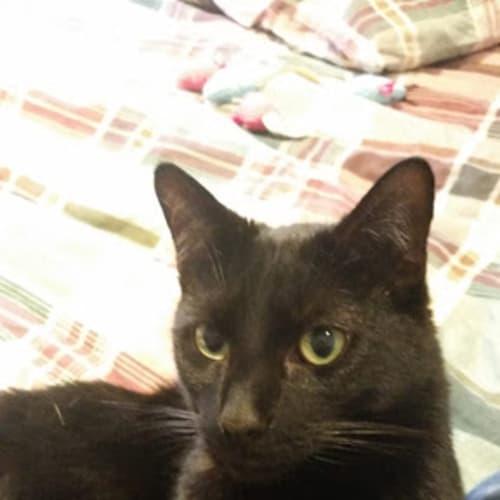 Vegas - Domestic Medium Hair Cat
