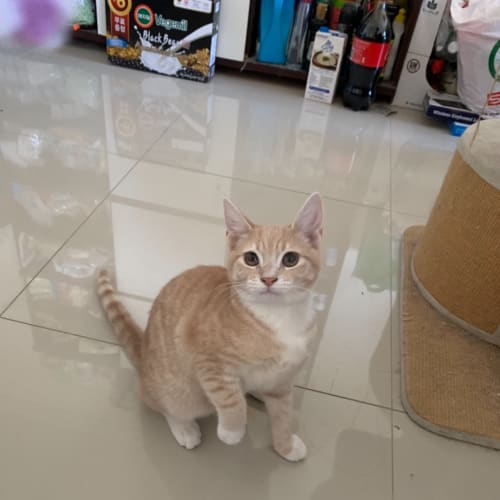 Butter - Domestic Short Hair Cat