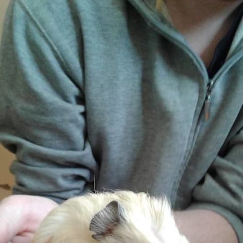 Lotus & Mouse - Crested x Smooth Hair x Himalayan Guinea Pig