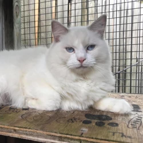 Annabelle - Ragdoll Cat