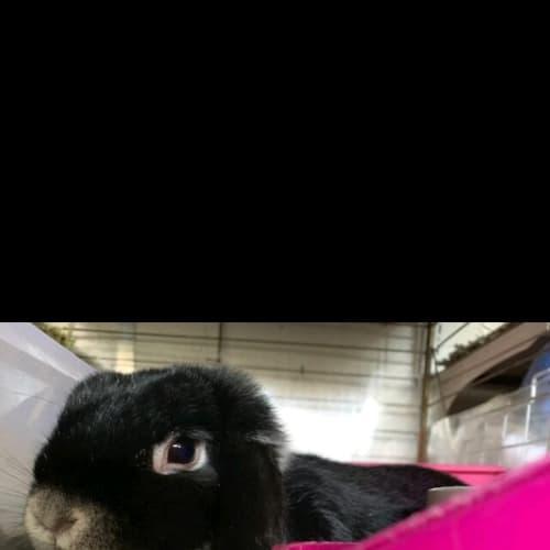 Sassy - Dwarf lop Rabbit