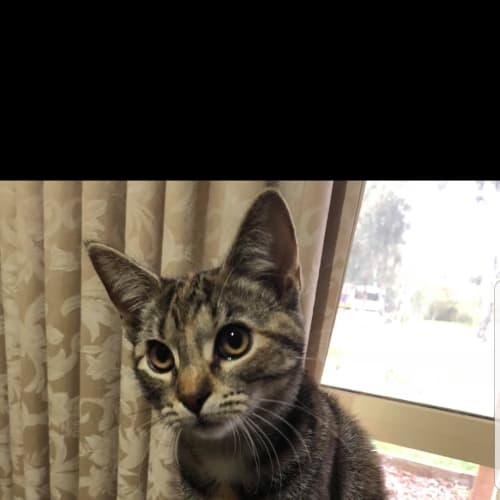 Sherbet - Domestic Short Hair Cat
