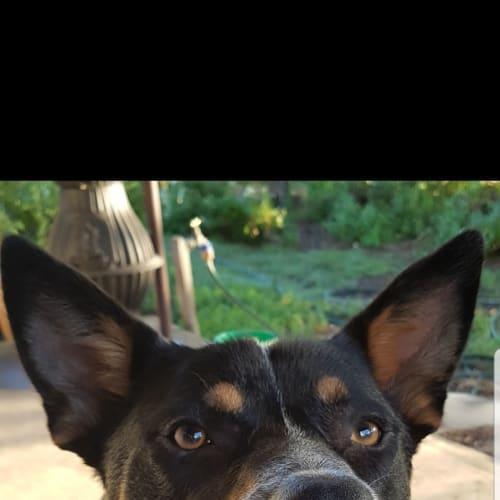 Diesel ~ 14 month old Cattle Dog X Kelpie - Australian Cattle Dog x Kelpie Dog