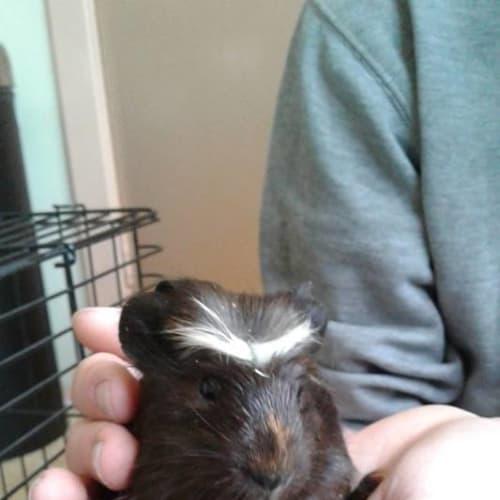 Mono - haircut king! - Crested x Smooth Hair Guinea Pig