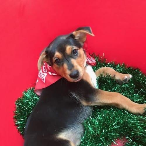 Kiki - Kelpie Dog