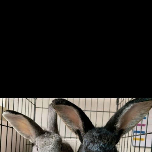 Jake & Jordy - Domestic Rabbit