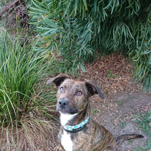 Taz *Assisted rehoming - Kelpie x Staffy Dog
