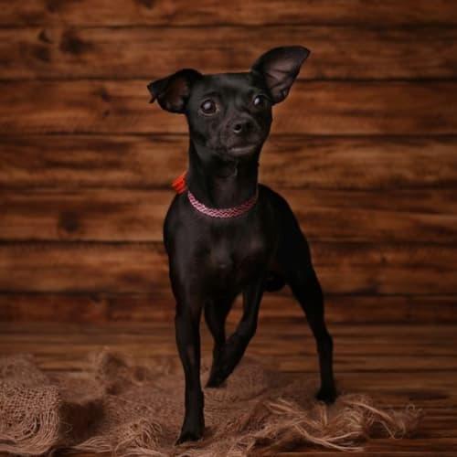 Onyx - Chihuahua Dog