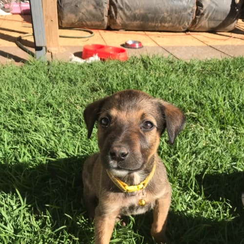 Avery - Ridgeback Dog