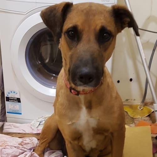 Jessie  - Ridgeback Dog