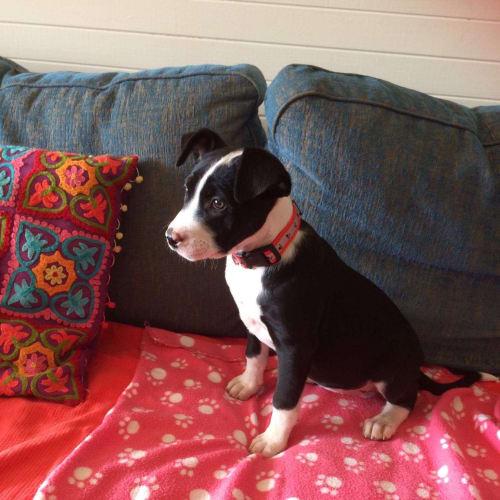 Mynx - American Bulldog x Kelpie Dog
