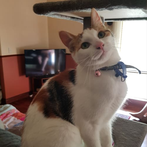 Bronte C1541 - Domestic Short Hair Cat