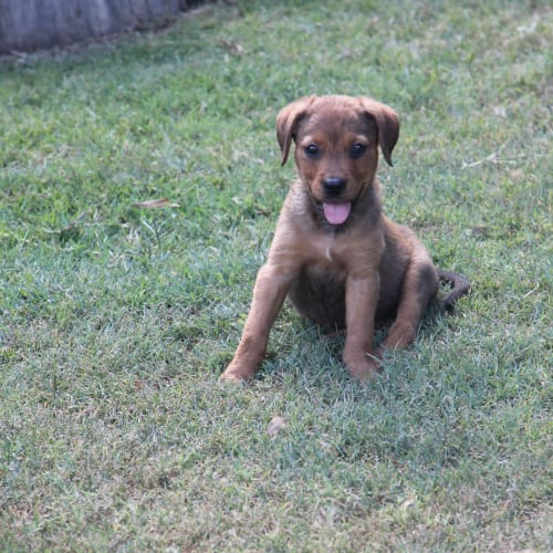 Candy - Rottweiler x Staffordshire Bull Terrier Dog