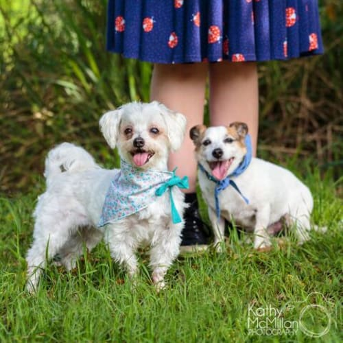 Max and Maddie 😝😛 - Jack Russell Terrier x Maltese Dog