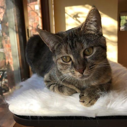 Verona - Domestic Short Hair Cat