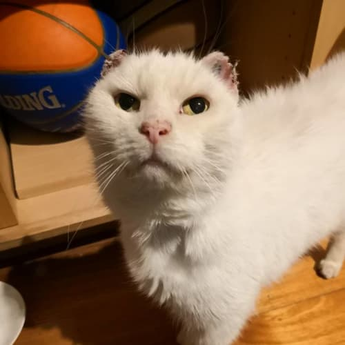 Marty Marshmellow - Located in Diamond Creek - Domestic Short Hair Cat