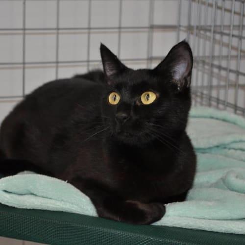 Cinder - Domestic Short Hair Cat