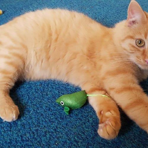 Bumble - Domestic Medium Hair Cat