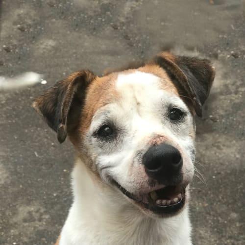 Jamie - Special Needs - Jack Russell Terrier Dog