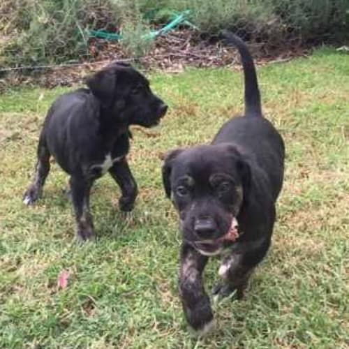 Nero - German Shepherd x Labrador Dog