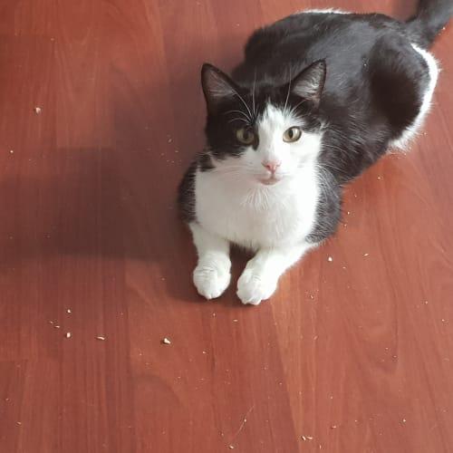 Tahini ^^Dandy Cat Rescue^^ - Domestic Short Hair Cat