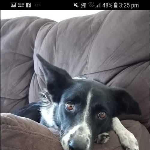 Jessie Jamieson - Border Collie Dog