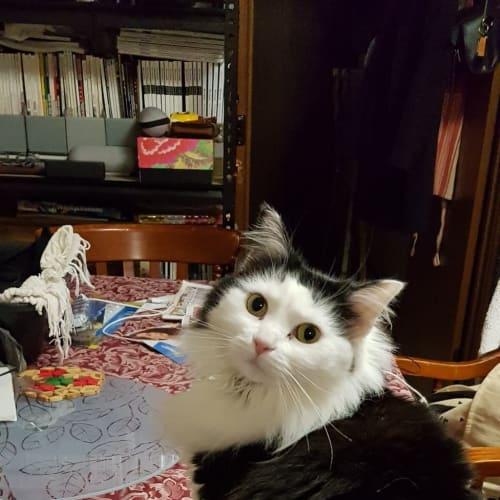 Jezebel - Domestic Medium Hair Cat