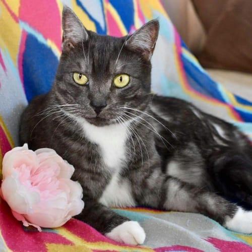 Tully and Nano - Domestic Short Hair Cat