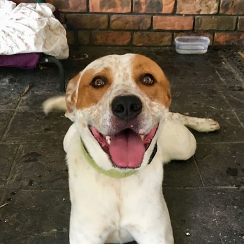 Buddy - Australian Cattle Dog