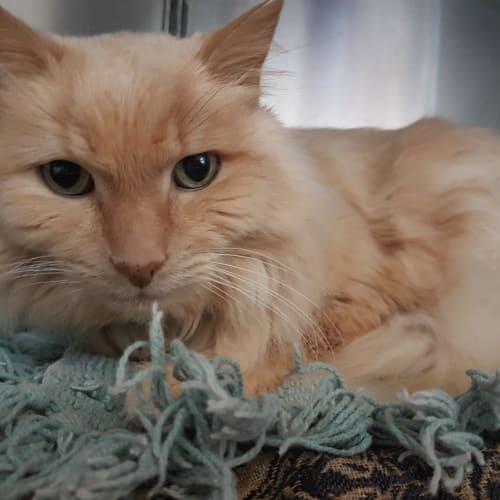 Mittie - Located in Preston - Domestic Medium Hair Cat