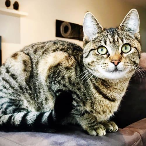 Kitty McNamara - Domestic Short Hair Cat