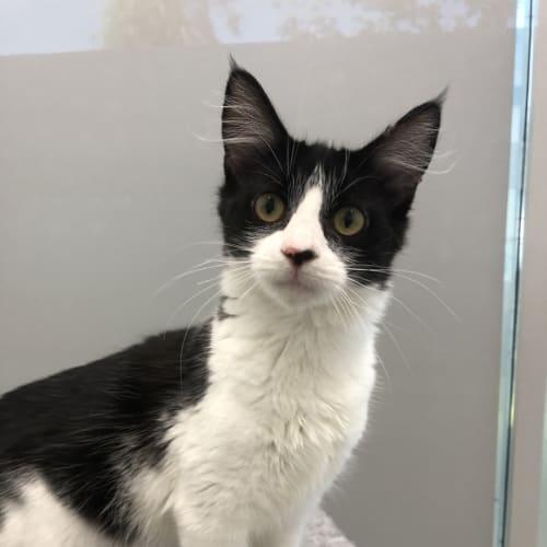 Winnie - Domestic Short Hair Cat