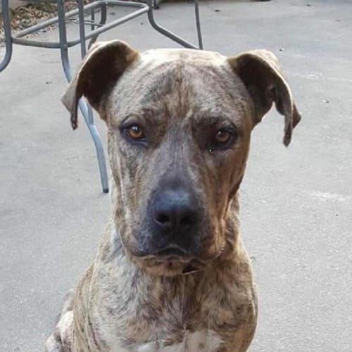 Titan - Great Dane Dog
