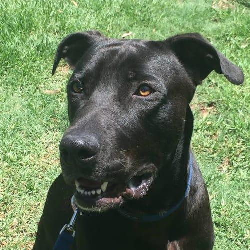 Beau - Great Dane Dog