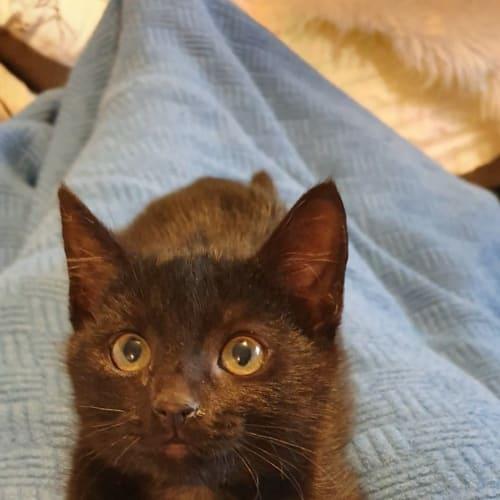 Beanette - Domestic Short Hair Cat