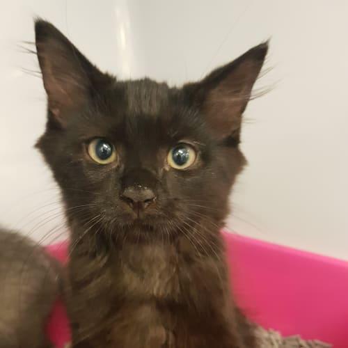 Finnegan  - Domestic Medium Hair Cat