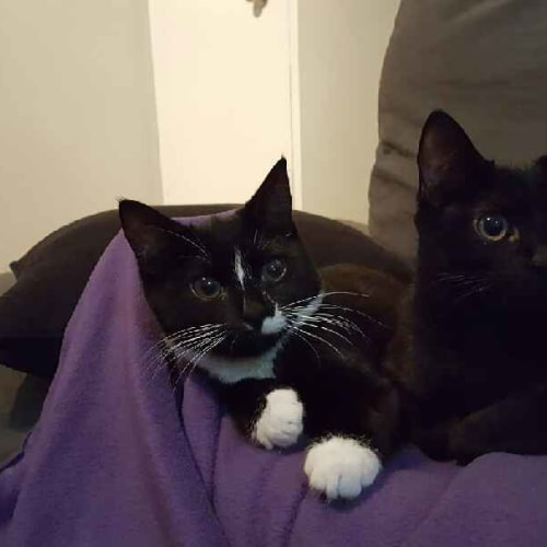 Chillie and Maggie - Domestic Short Hair Cat