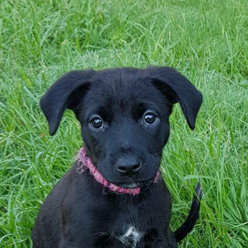 Melody - Kelpie x Staffordshire Bull Terrier Dog