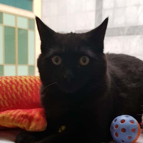 Jane - Domestic Medium Hair Cat