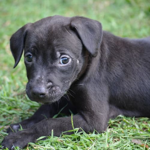 Moet - Kelpie x Staffordshire Bull Terrier Dog